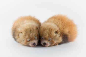 Hotspot Pictures Super Cute Baby Red Pandas